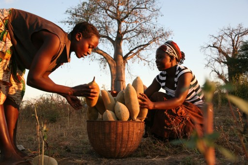 La fruita del Baobab