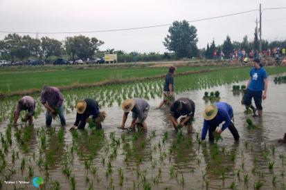 Plantada de l'arros - Poble Nou del Delta - 08 juny 2014 a1-imp