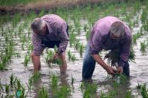 Plantada de l'arros - Poble Nou del Delta - 08 juny 2014 a2-imp