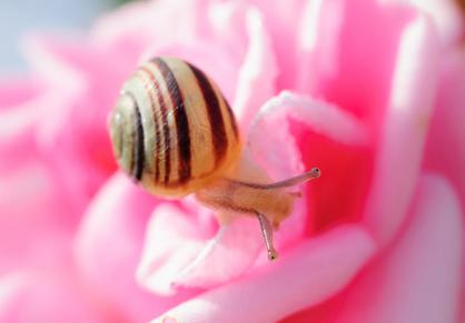 Cargol i rosa