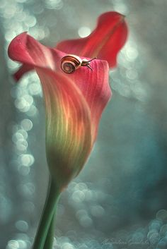 Flor encesa i cargol