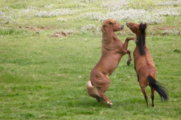 Islàndia - cavalls - 1
